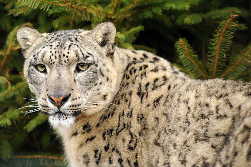 leopard χιόνι στοκ εικόνα