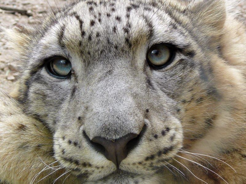 leopard χιόνι στοκ φωτογραφία