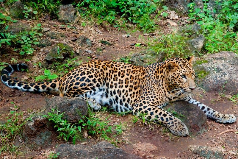 leopard στοκ εικόνες