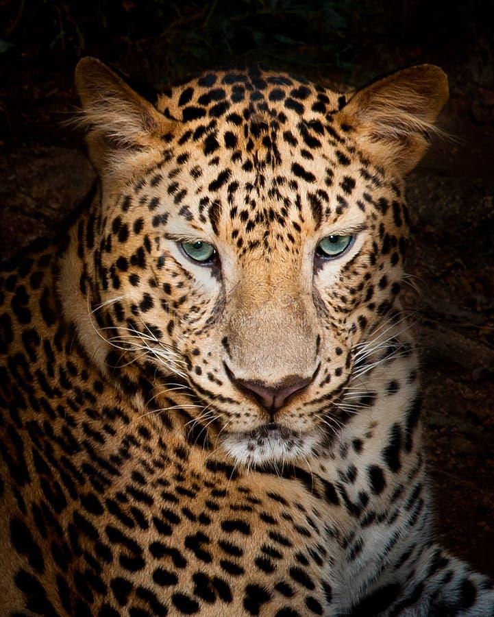 leopard στοκ εικόνες με δικαίωμα ελεύθερης χρήσης