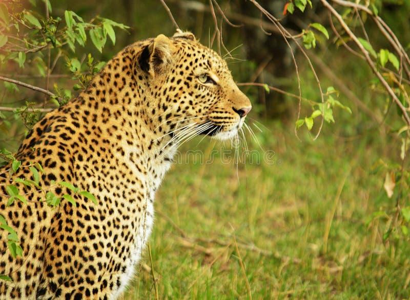 leopard royaltyfri foto