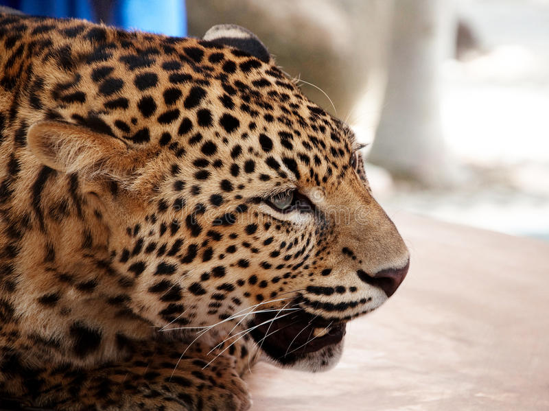 Download Leopard stock image. Image of powerful, agile, black - 11230427