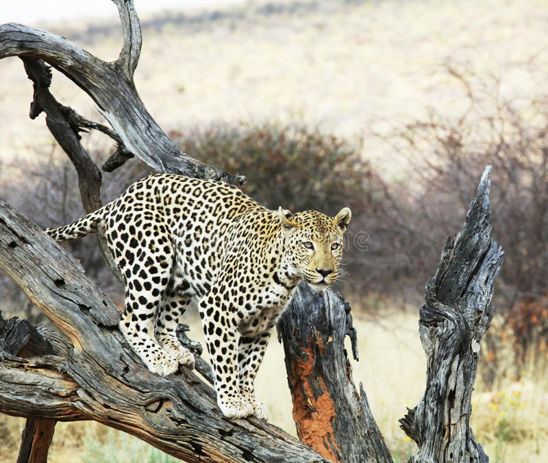 Download Leopard stock photo. Image of mammal, south, nature, animal - 11280038