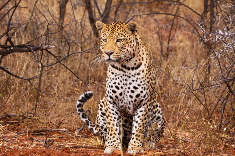 Download Leopard stock image. Image of africat, fast, agile, coat - 11683523