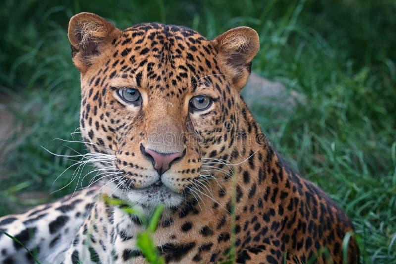 leopard στοκ φωτογραφία