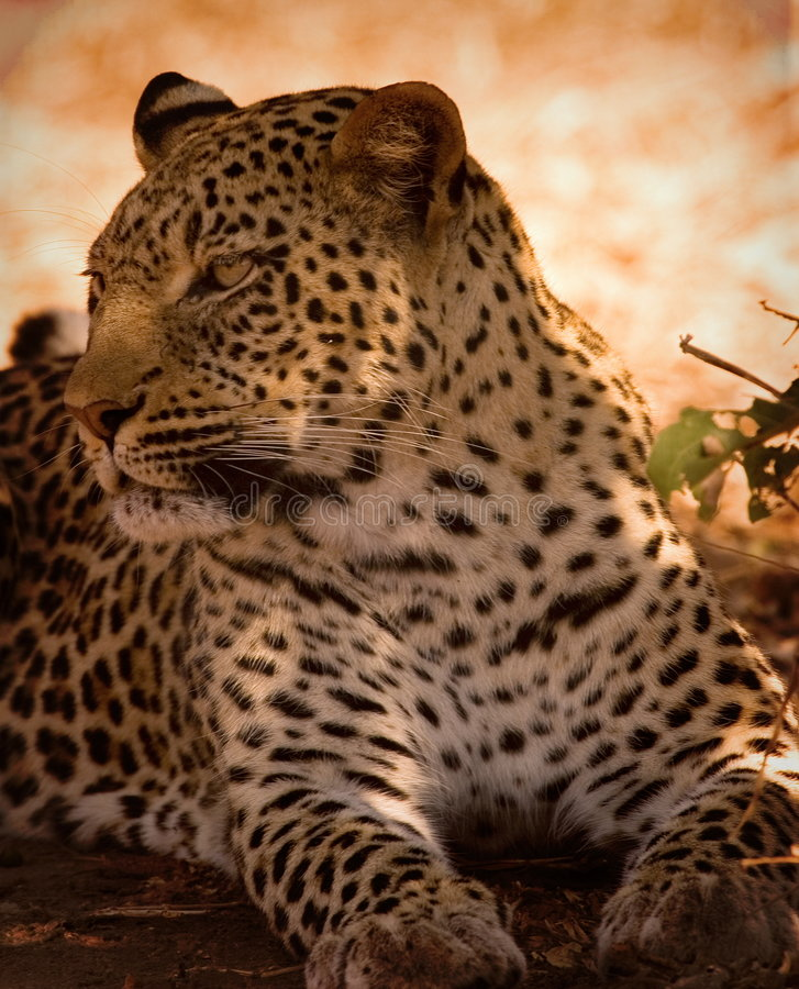 Free Leopard Stock Photography - 1305372