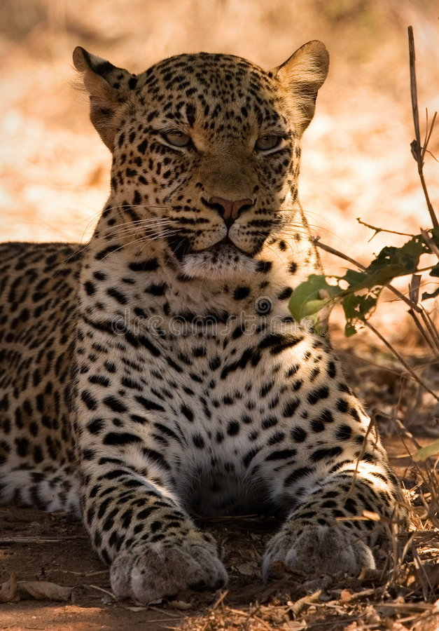 Free Leopard Royalty Free Stock Images - 1305389