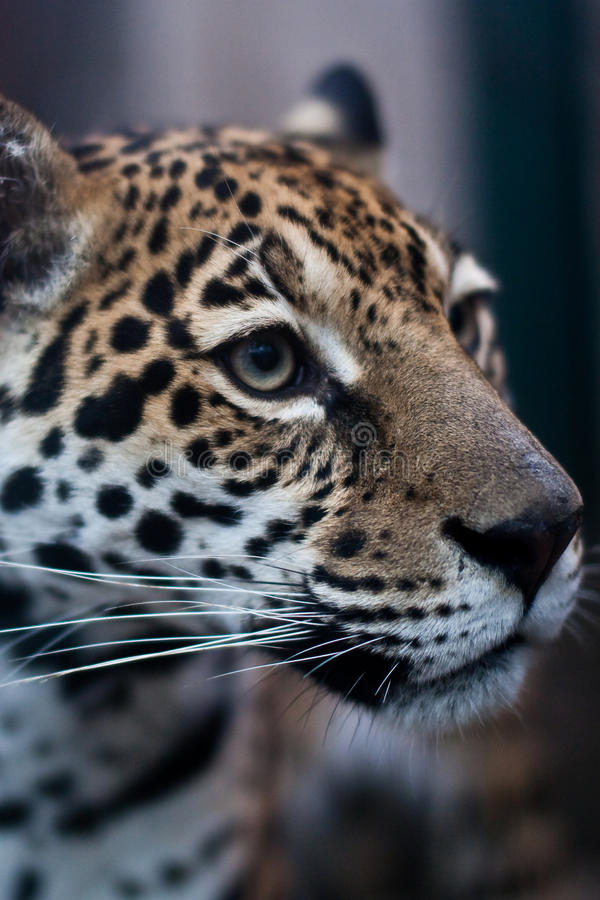 leopard στοκ φωτογραφία με δικαίωμα ελεύθερης χρήσης