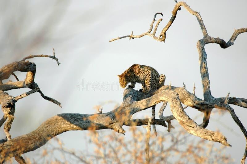 Leopard. At Kruger national Park, South Africa stock images
