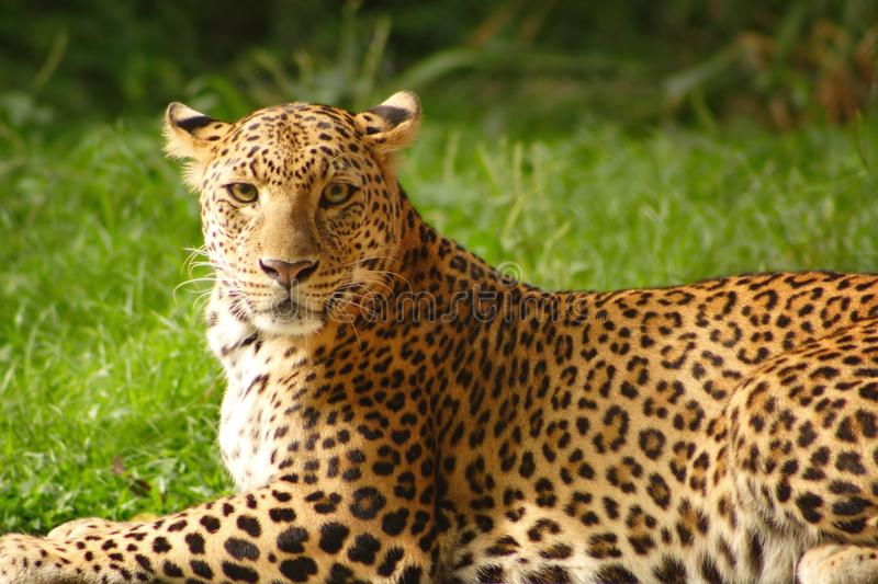 Download Leopard stock photo. Image of leopard, fauna, wild, nature - 13803422