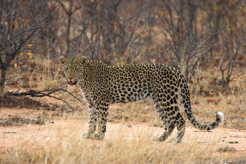 Download Leopard stock photo. Image of cunning, hunter, leopard - 1405358
