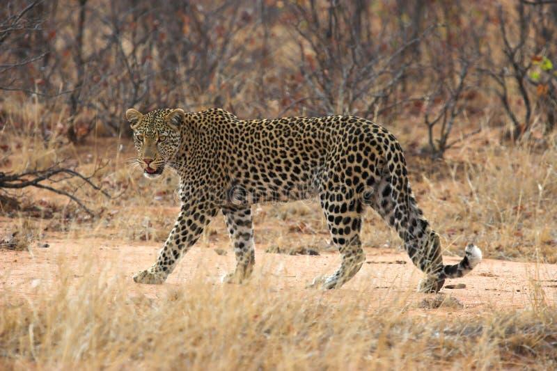 Download Leopard stock image. Image of leopards, carnivorous, eyes - 1406395