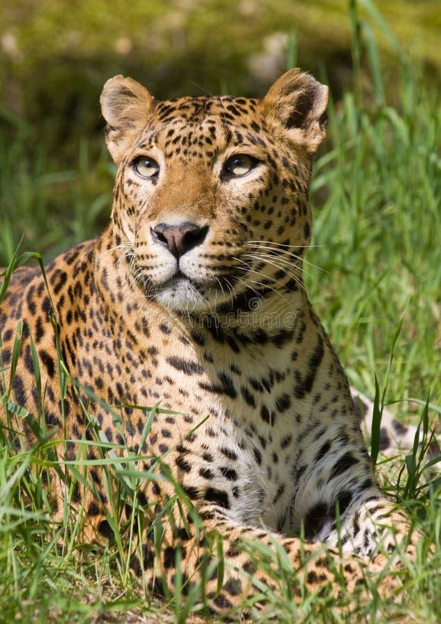 Leopard lizenzfreie stockbilder