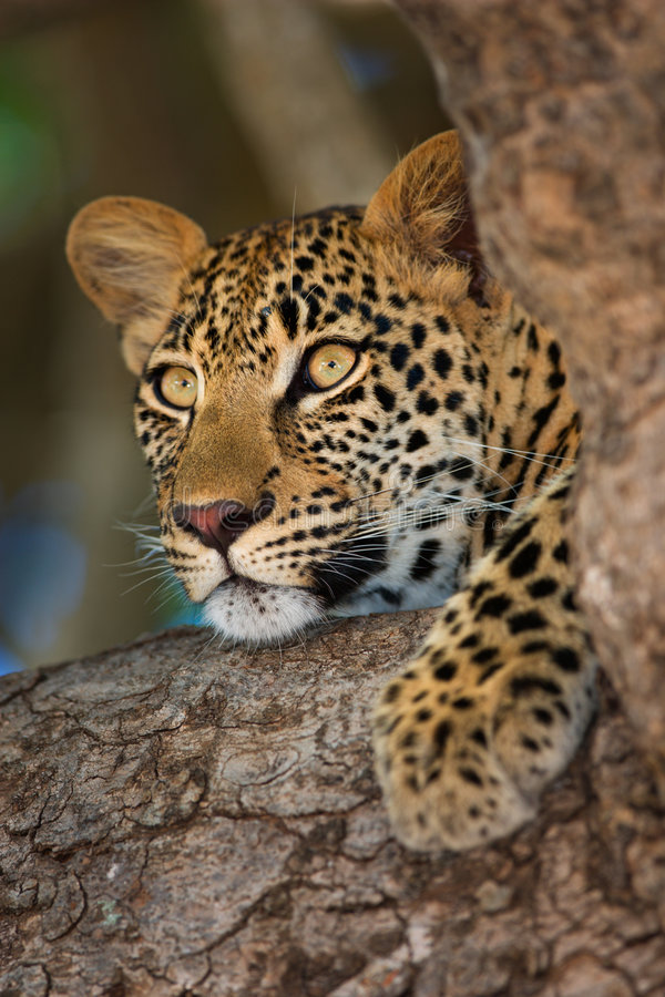 Leopard. Close-up portrait of a leopard lying in a tree; Panthera pardus