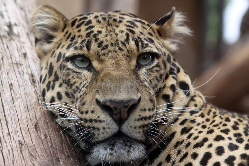 Download Leopard stock photo. Image of whiskers, coat, spot, head - 22186974