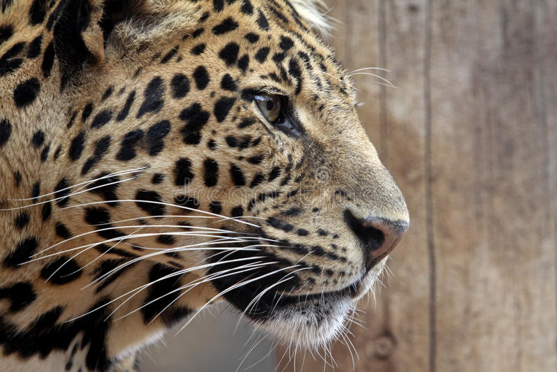 Download Leopard stock photo. Image of pardus, wildlife, endangered - 22591600