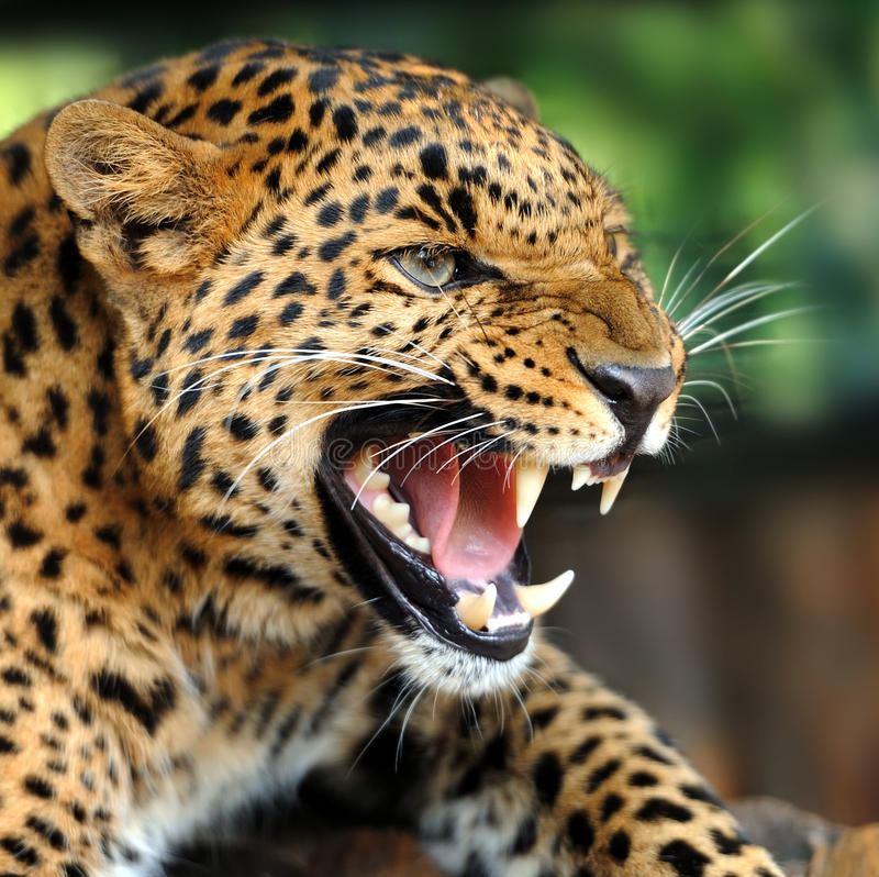 Leopard royaltyfria bilder