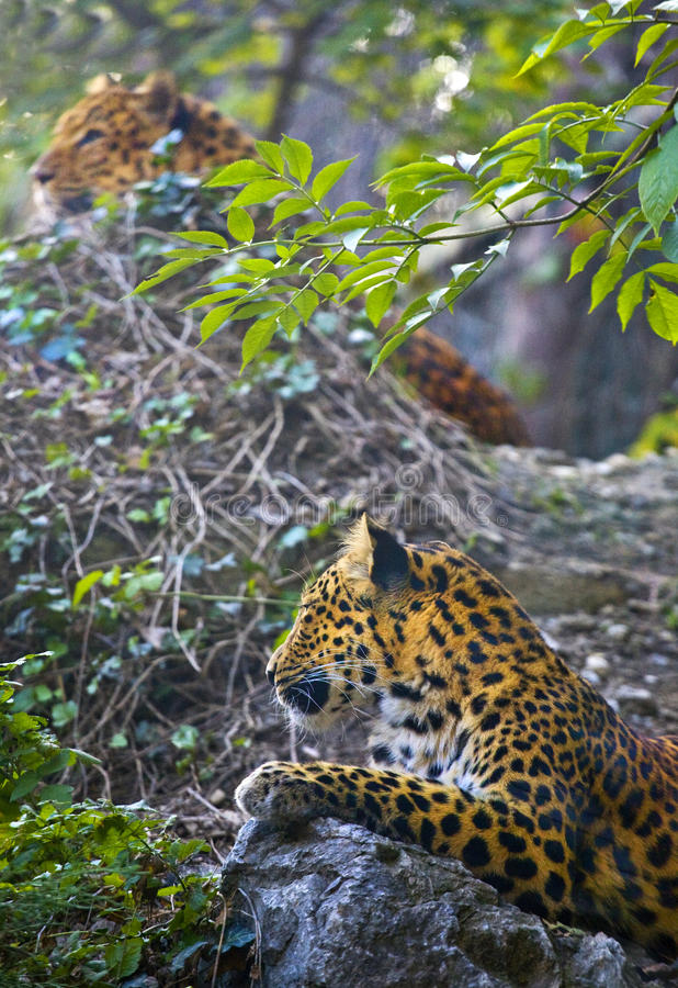 Download Leopard Stock Image - Image: 27275181
