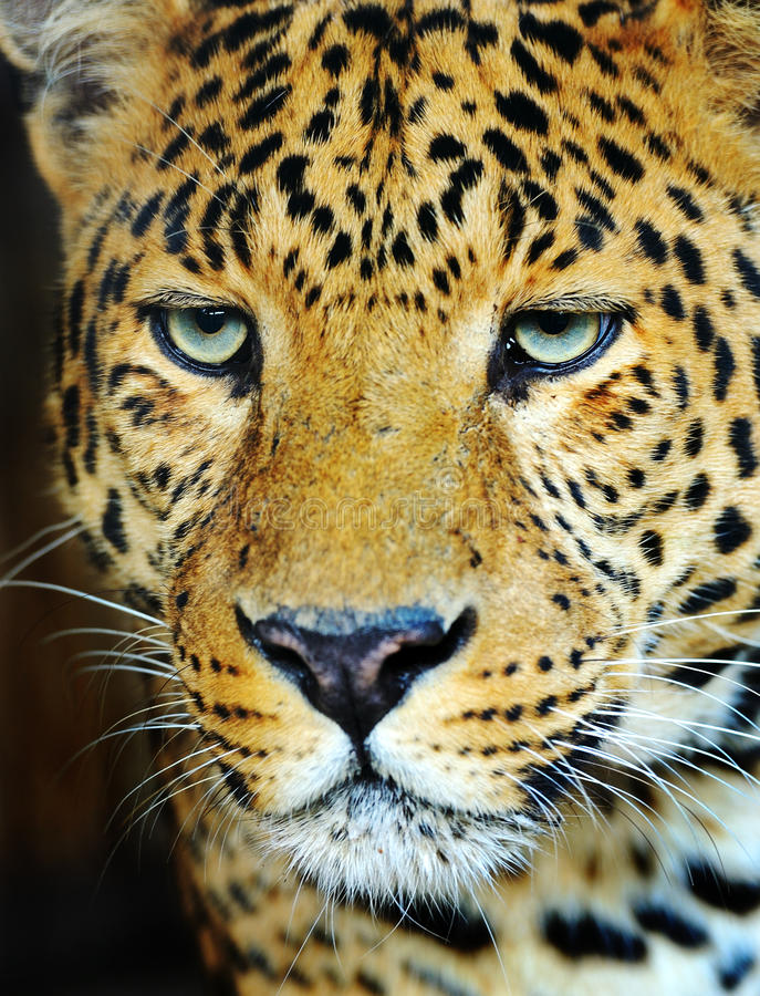 Download Leopard stock photo. Image of background, eyes, animal - 27399978