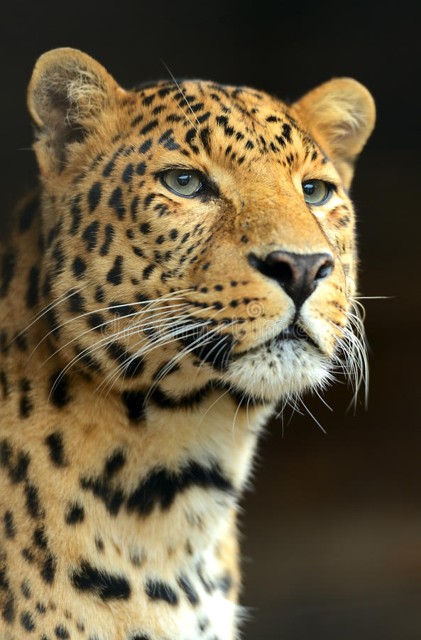 Download Leopard stock photo. Image of outdoors, beasts, predatory - 27401294