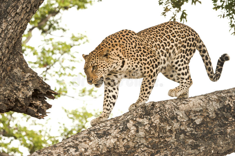 Leopard, Botswana, Africa. Young leopard climbing down a big tree in Botswana