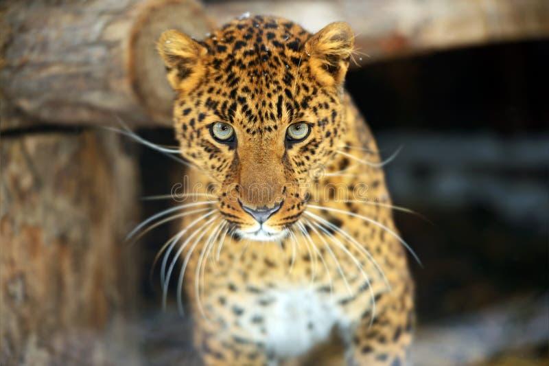 Download Leopard stock photo. Image of proud, habitat, animals - 28589072