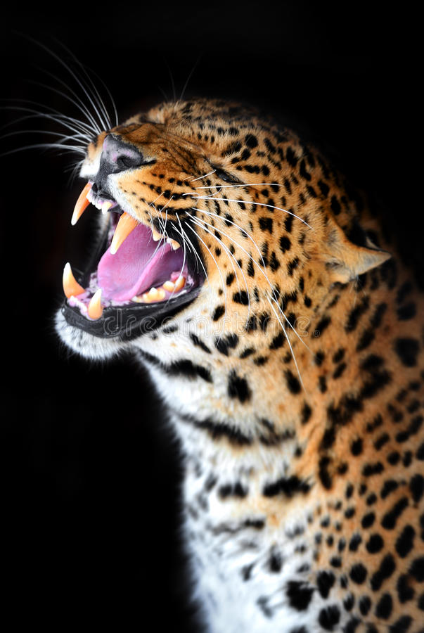Download Leopard stock photo. Image of moustaches, threatening - 28700580