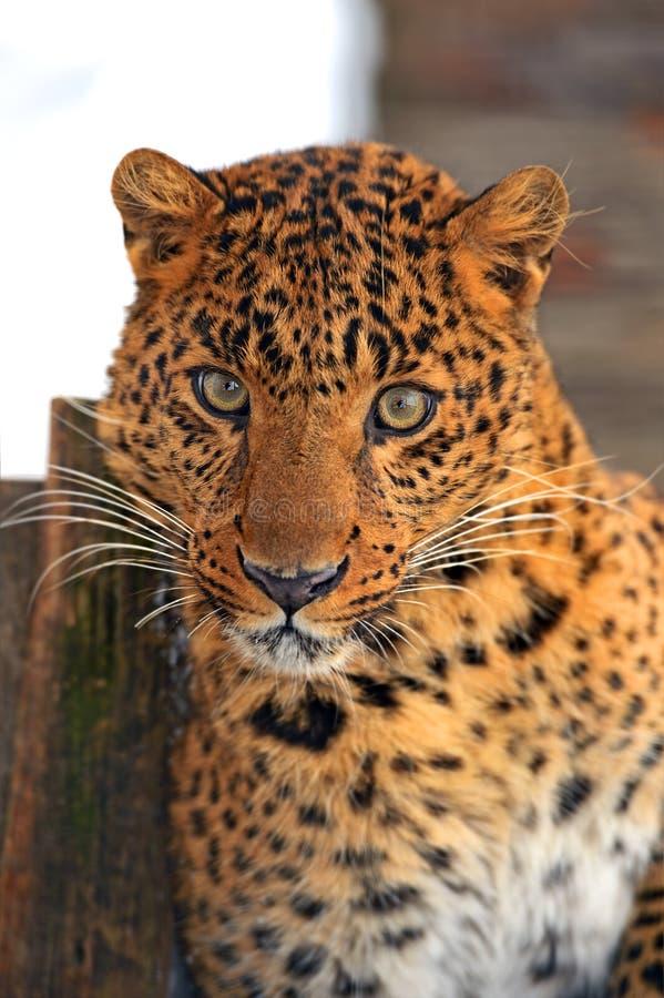 Download Leopard stock photo. Image of africa, behavior, nature - 28700984