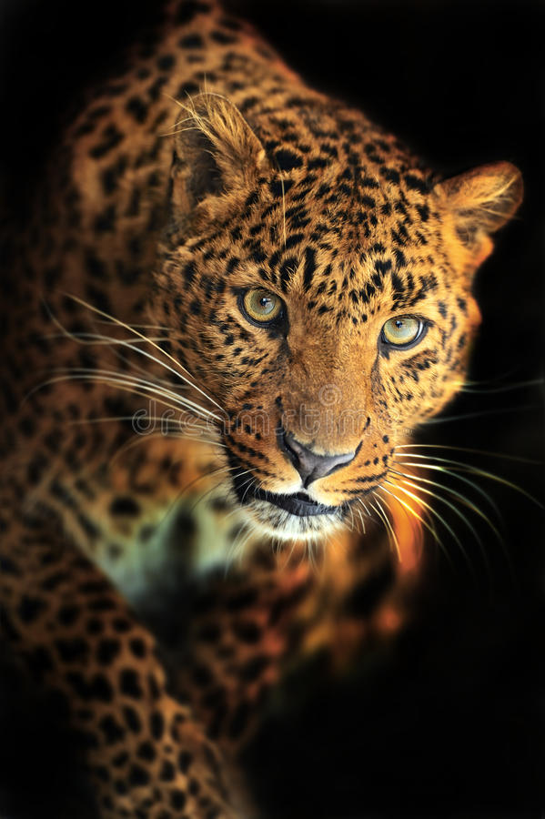 Download Leopard stock image. Image of careful, proud, wild, environment - 28701015