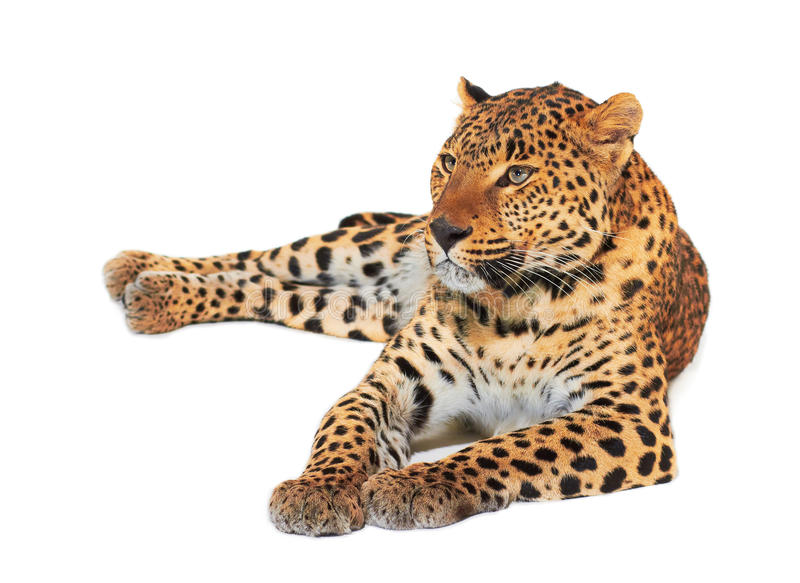 Download Leopard stock photo. Image of looking, leopard, fast - 28883010