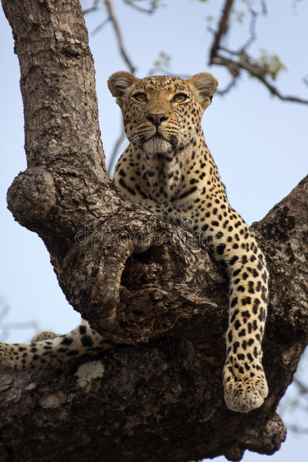 Free Leopard Stock Images - 36496794