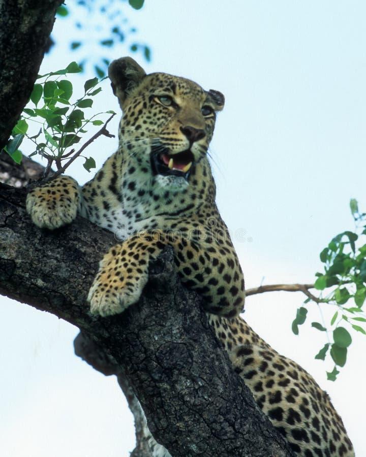Download Leopard stock image. Image of wild, tree, botswana, outdoor - 4183913