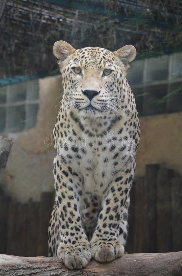 Free Leopard Stock Photography - 44054902
