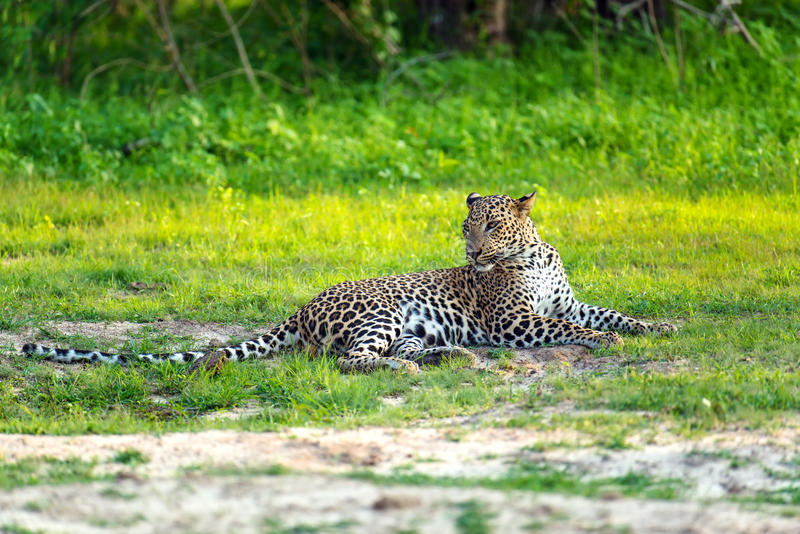 leopard lizenzfreies stockfoto
