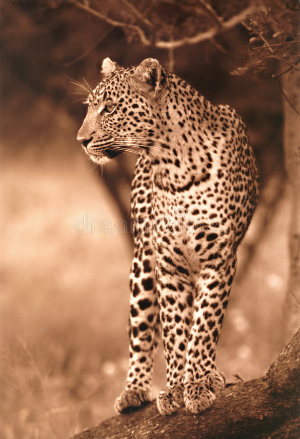 Free Leopard Royalty Free Stock Photography - 5967687