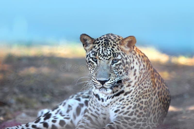 leopard στοκ εικόνα