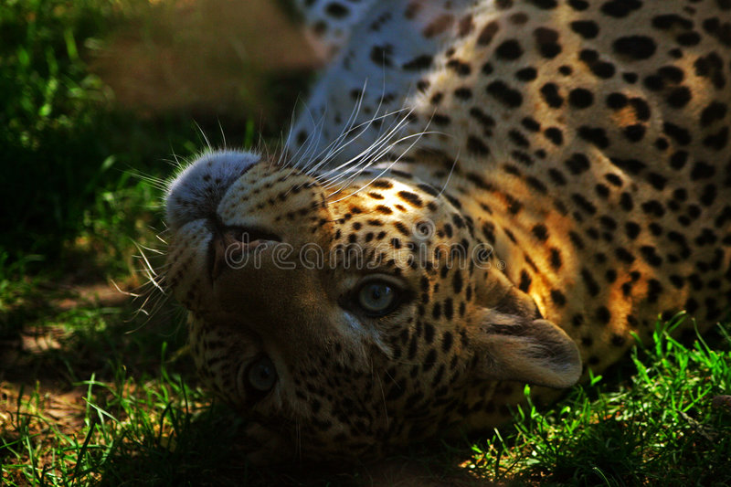 Leopard. A Leopard puppy plays in the grass royalty free stock image