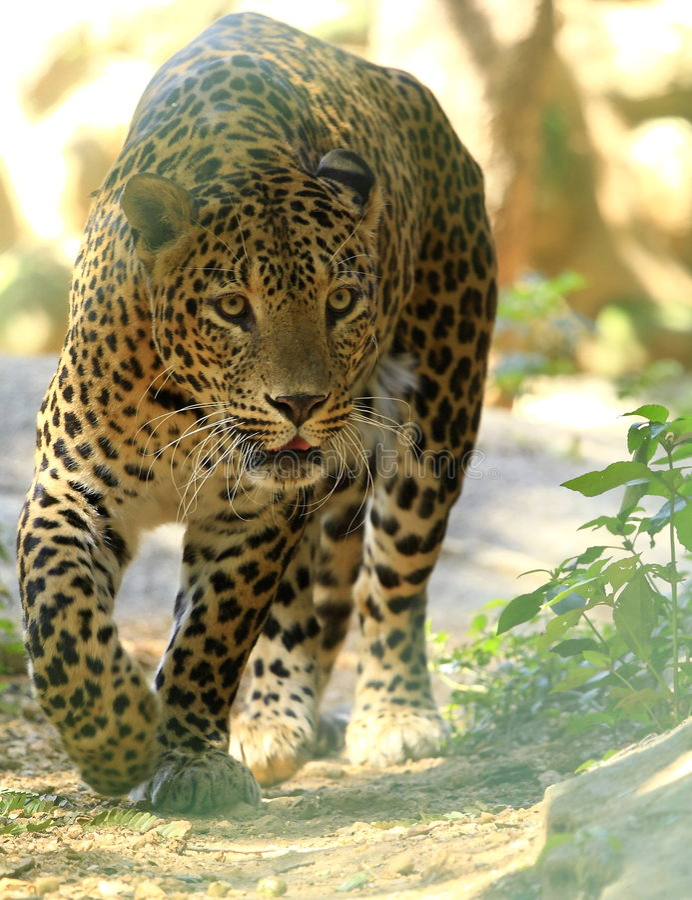 Free Leopard Royalty Free Stock Photo - 8331235