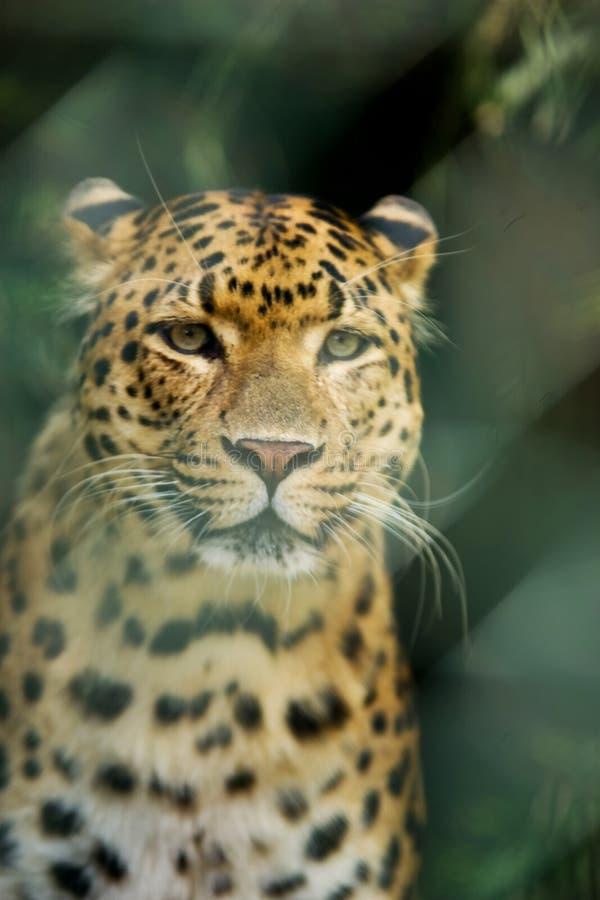 Free Leopard Stock Photos - 932503