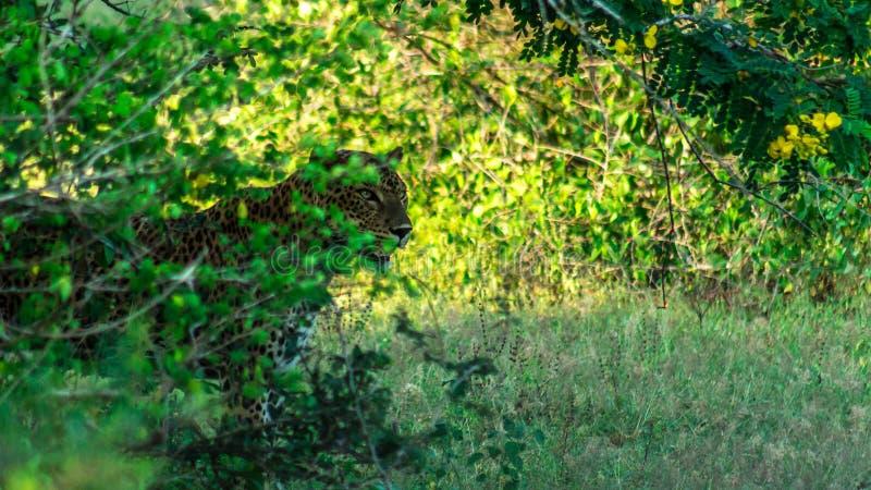 leopard στοκ εικόνα με δικαίωμα ελεύθερης χρήσης