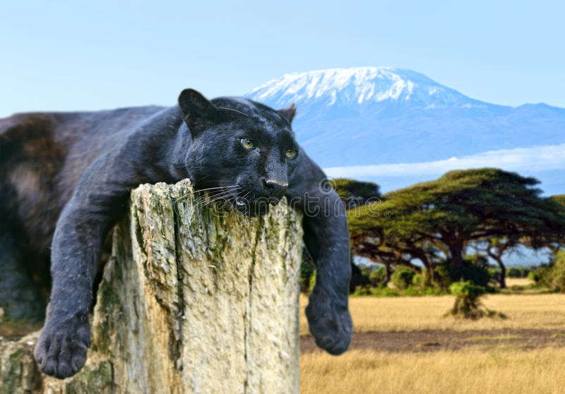 Download Leopard Stock Photo - Image: 42825833
