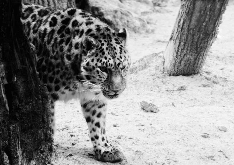 Leopard. Amur leopard pasing black and white stock image