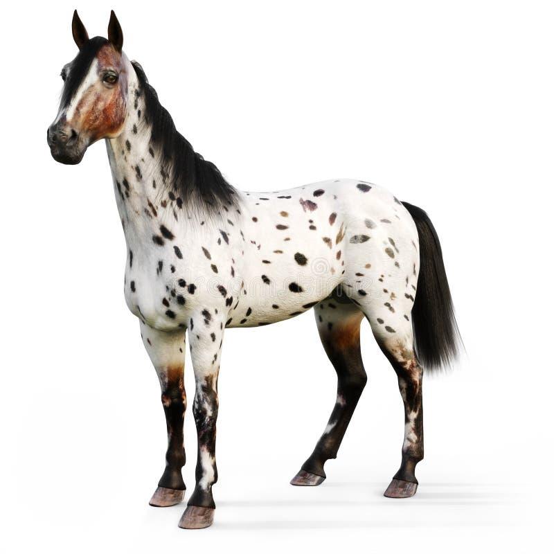 Leopard Appy-Pferd auf einem weißen Hintergrund lizenzfreie abbildung