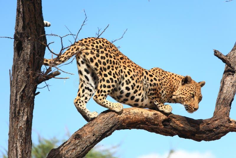 Leopard auf Baum stockfotografie