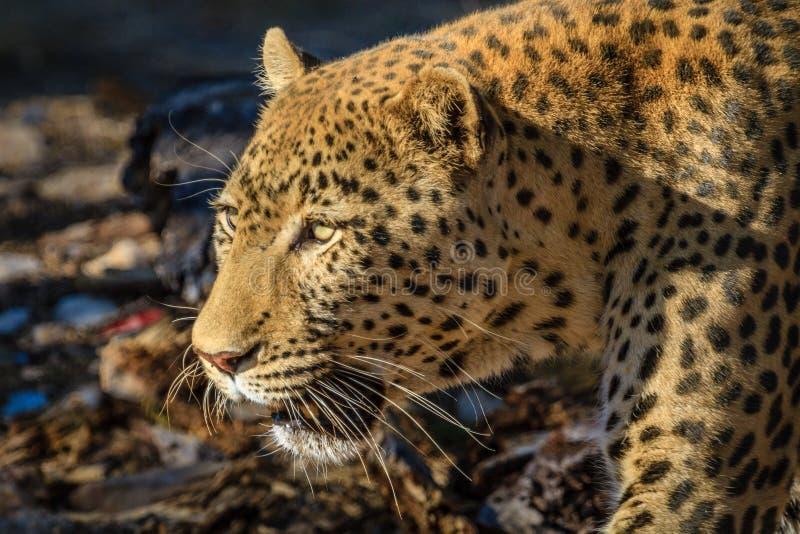 Leopard auf dem Prowl an der privaten Spielreserve Erindi, Namibia, Afrika lizenzfreie stockfotos