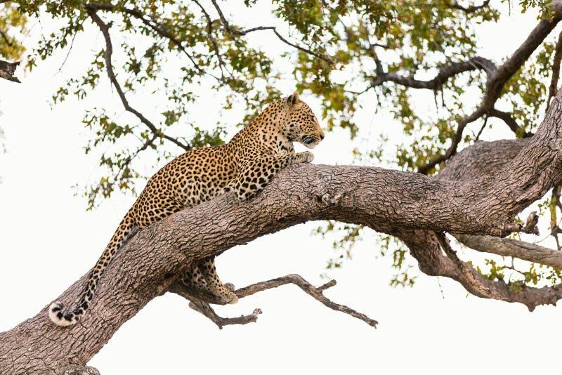 Leopard auf einem Baum lizenzfreie stockfotografie