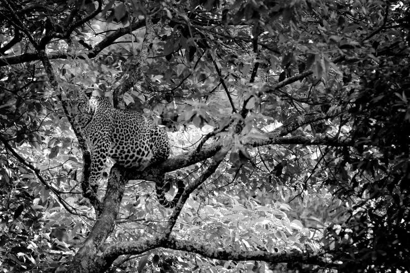 Leopard auf einem Baum stockbild