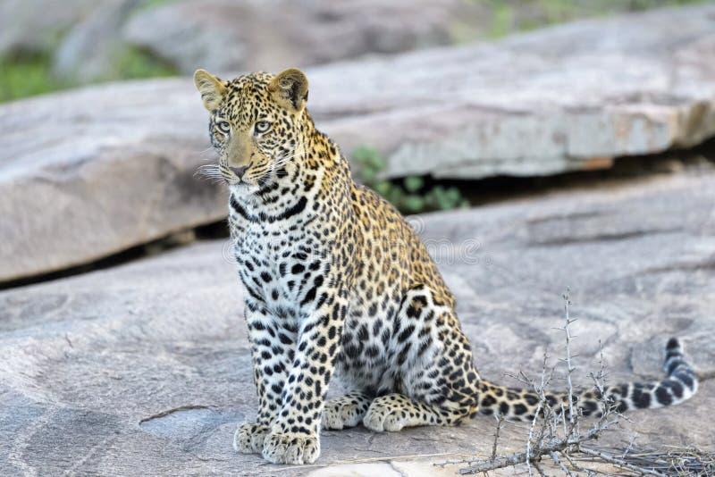 Leopard auf einem Felsen durch Gras stockfotografie