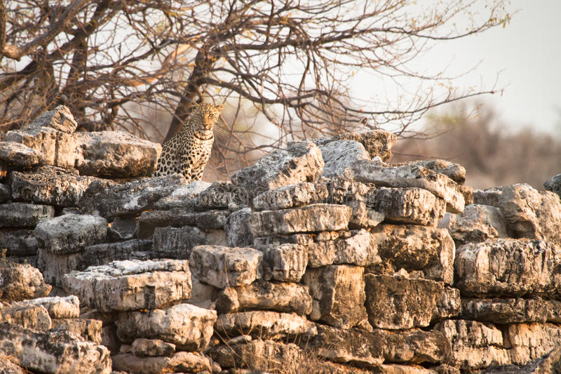 Leopard auf Felsen stockfotos