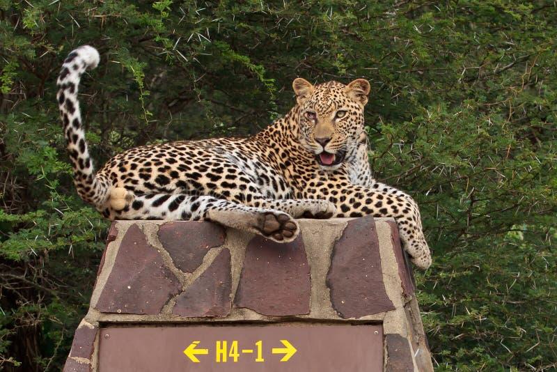 Leopard auf Verkehrsschild lizenzfreie stockfotos